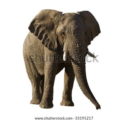 Isolated elephant bull - stock photo