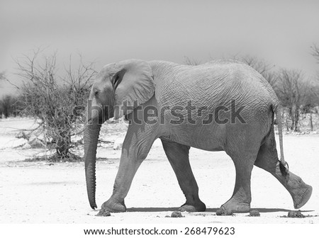 isolated elephant walking along a dry dusty road in Namibia in black & white - stock photo