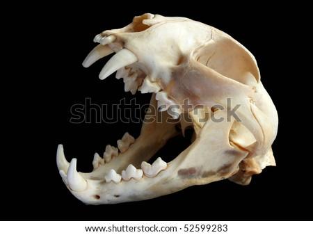 Isolated Eurasian lynx (Lynx lynx) skull on a black background - stock photo