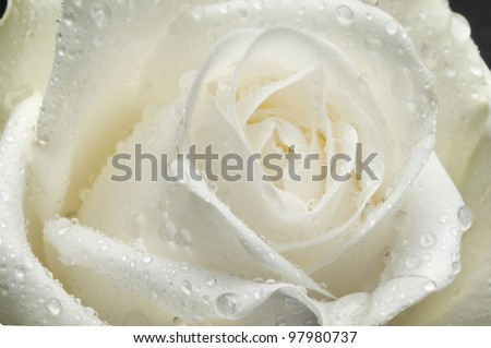 isolated flower on white: a white rose - stock photo