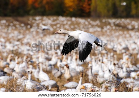 Isolated flying snow goose - stock photo