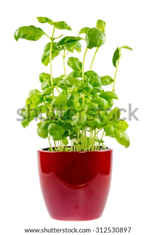 Isolated fresh basil plant in a flower pot - stock photo
