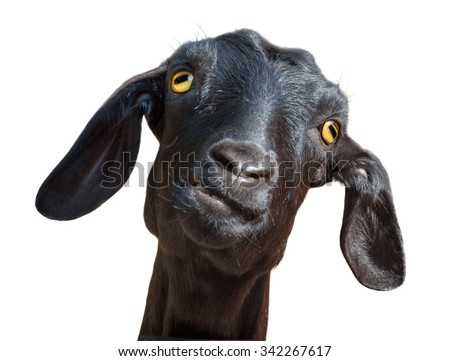 Isolated funny goat head. Head of silly looking black goat isolated on white background with clipping path - stock photo