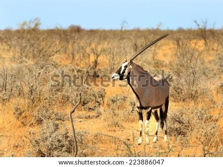 Isolated Gemsbok Oryx  in Etosha National Park - stock photo