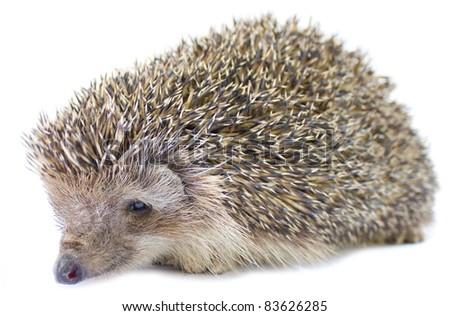 Isolated Hedgehog - stock photo