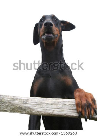 Isolated image of the upper part of a Doberman / Dobermann standing on hind legs - stock photo
