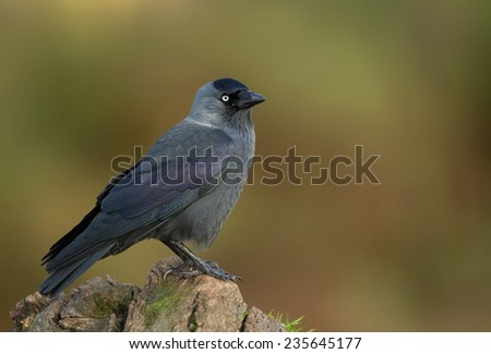 Isolated jackdaw perching on a post against colourful background - stock photo
