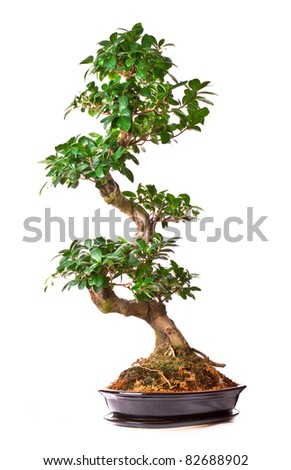 isolated large green bonsai tree in pot - stock photo
