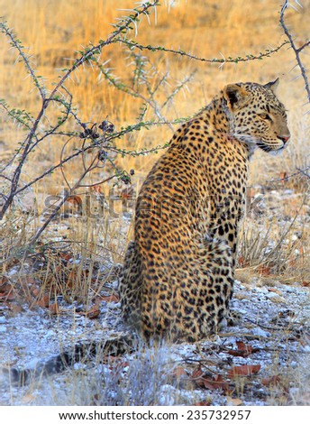 Isolated Leopard sitting under a bush  - stock photo