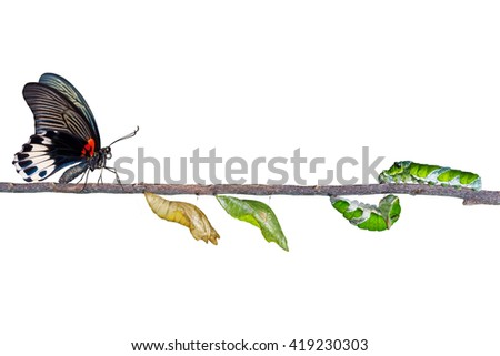 isolated life cycle of female great mormon butterfly from caterpillar with clipping path - stock photo