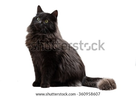 Isolated Long-Haired Black Cat Looking Up. - stock photo