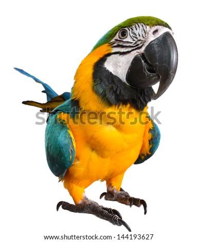 Isolated Macaw on white background - stock photo