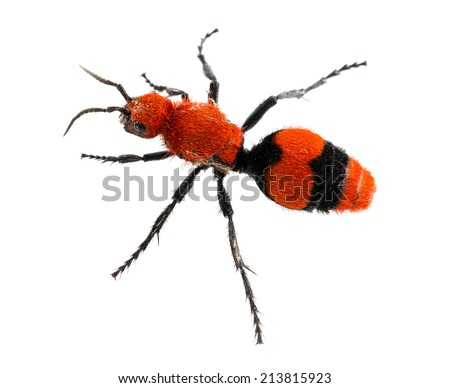 Isolated macro photo of cow killer or Velvet ant, that is actually a wingless wasp but has a very painful sting - stock photo