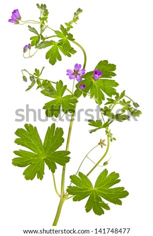 Isolated Malva sylvestris plant showing the palmate leaves and purple flowers which are used in herbal medicine as a weight loss supplement and to clean the colon - stock photo