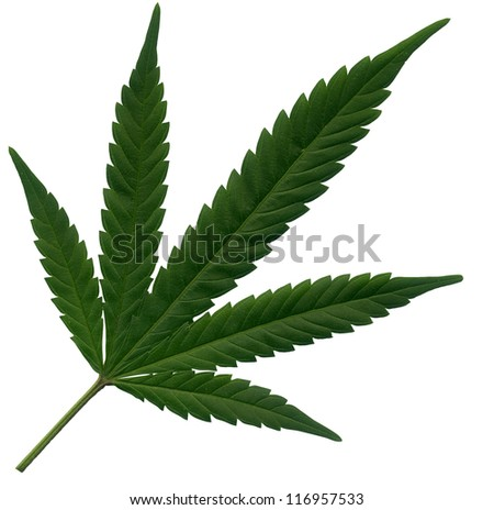 Isolated Marijuana leaf - stock photo