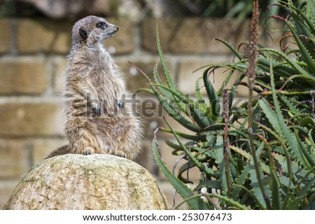 Isolated meerkat looking at you - stock photo
