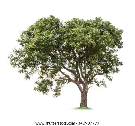 Isolated neem tree on white background - stock photo