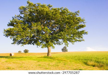 Isolated oak on marche hill - stock photo