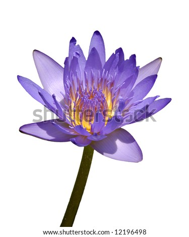 isolated of purple in color water lily - stock photo