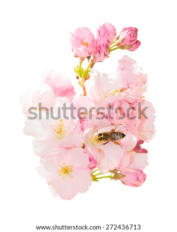 Isolated on white bunch of spring blossom pink flowers with honeybee pollinating springtime blooming orchard fruit garden and obtaining nectar and pollen - stock photo