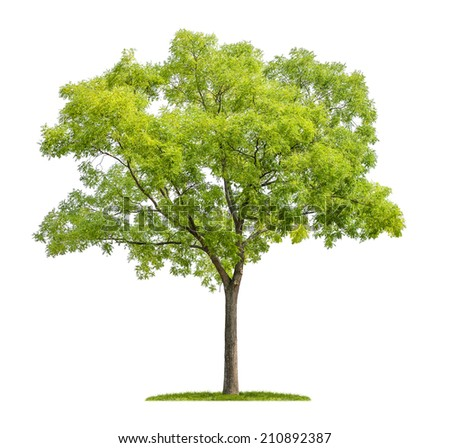 isolated pagoda tree on a white background - stock photo