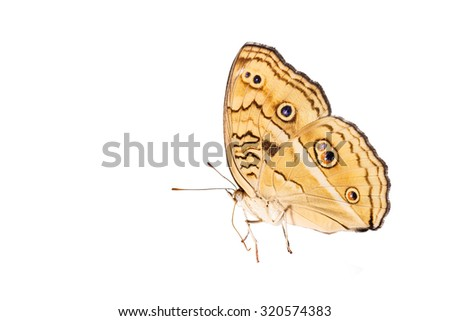Isolated peacock pansy butterfly with clipping path - stock photo