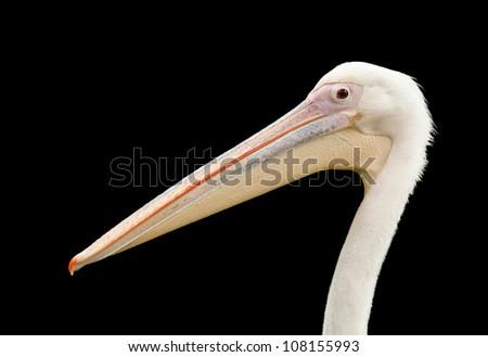 Isolated Pelican - stock photo