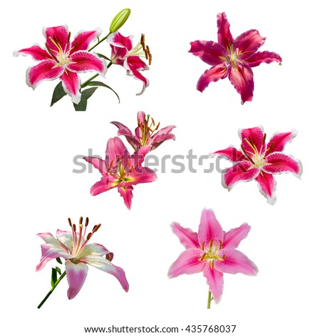isolated pink Lilly flower on white background, lilly flower - stock photo
