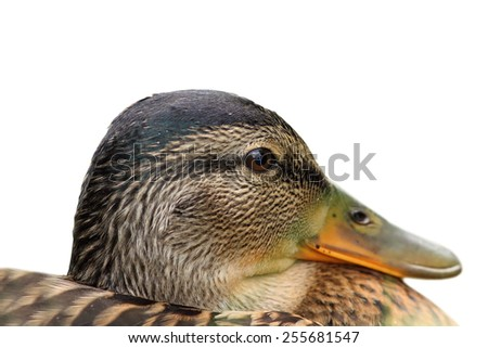 isolated portrait of a female mallard duck ( Anas platyrhynchos )  - stock photo