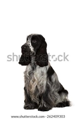 isolated portrait of english cocker spaniel, european champion, breeding station - stock photo