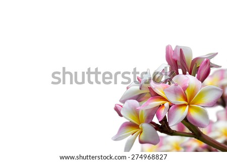 isolated pretty pink frangipani flower, temple flower - stock photo