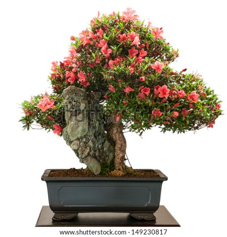Isolated Rhododendron indicum bonsai tree with red flowers - stock photo