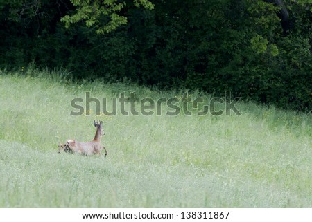 Isolated Roe Deer while jumping on the grass - stock photo