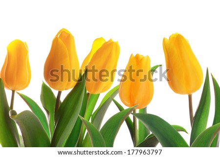 Isolated spring tulips flowerbed on a whute background - stock photo