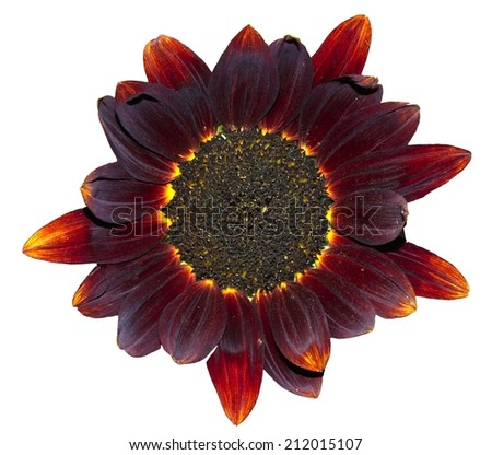 Isolated Star Shaped Dark Red Sunflower with Yellow Highlights - stock photo