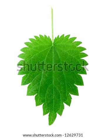 isolated stinging nettle leaf - stock photo