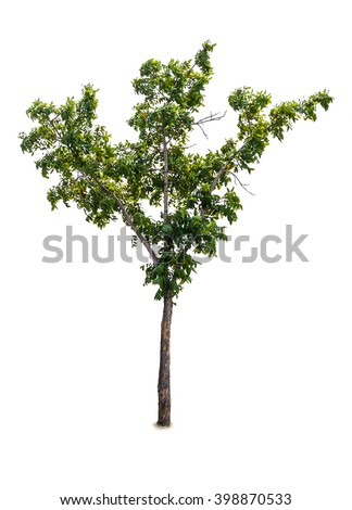 Isolated streblus asper tree, Decorated tree - stock photo