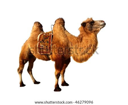 Isolated strong camel in white background - stock photo
