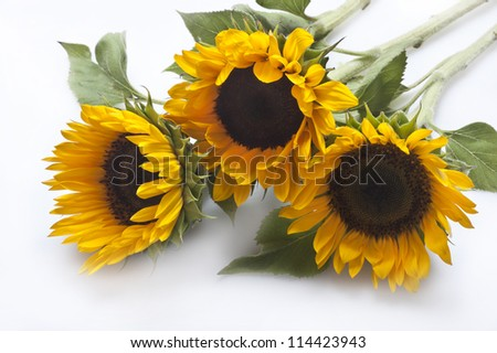 isolated sunflower with leaves - stock photo