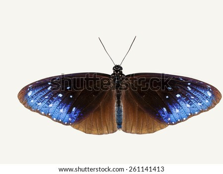 Isolated top view of striped blue crow butterfly with clipping path - stock photo