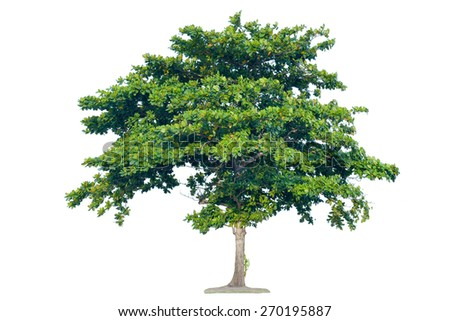Isolated tree on a white background  - stock photo