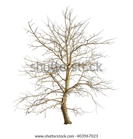 Isolated tree with no leaves on white background - stock photo