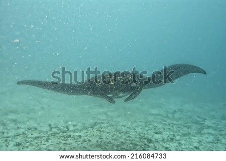 Isolated very rare Black Manta in the blue background - stock photo