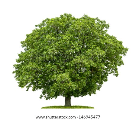 isolated walnut tree on a white background - stock photo