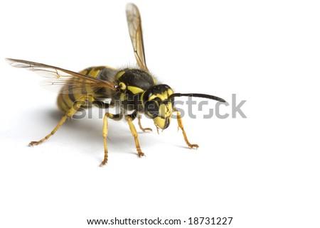 Isolated Wasp - stock photo
