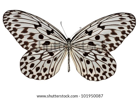 Isolated white and black butterfly (Malayan Tree Nymph) - stock photo