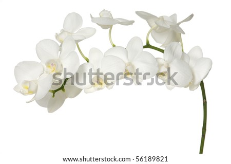 Isolated white orchid - stock photo