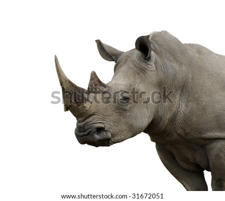 Isolated White Rhino - stock photo