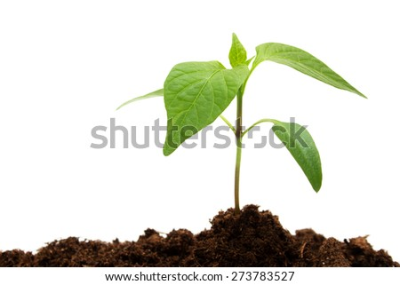 isolated young pepper seedling on white background - stock photo