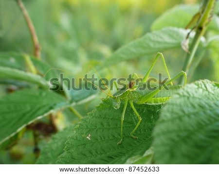 Isophy kraussii - stock photo